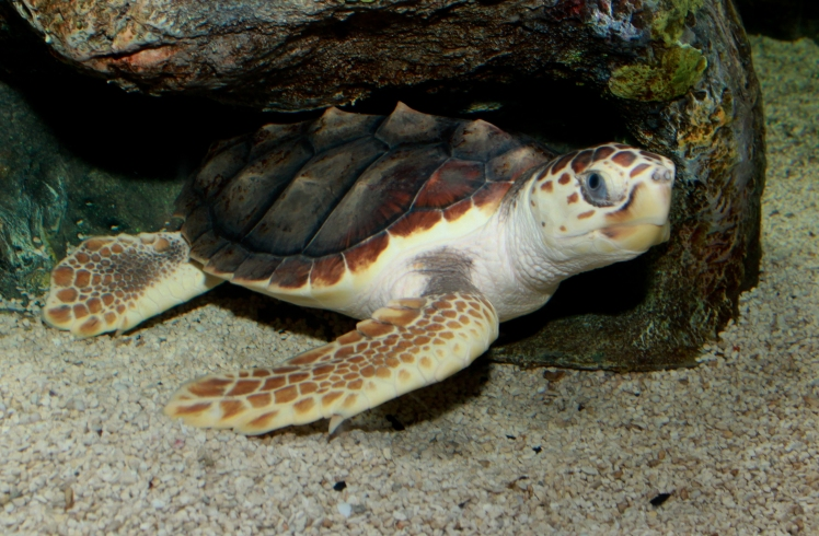 Loggerhead_Sea_Turtle_(Caretta_caretta)_2